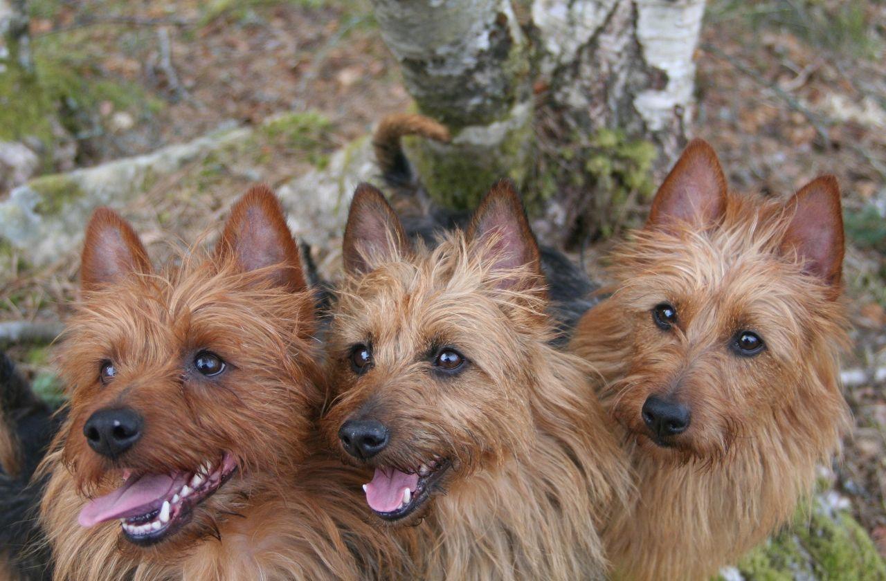 Velkommen til norsk terrierklubs hjemmeside for australsk terrier