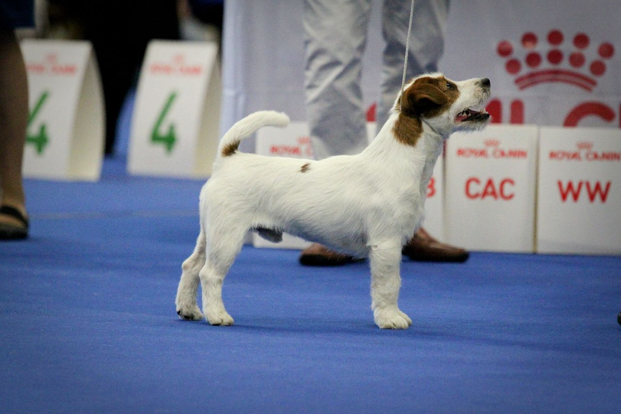 /Userfiles/Sites/images/Jack%20russell/IMG_5075.jpg