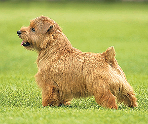 COCO the Norfolk Terrier, Ch/Am Ch Cracknor Cause Celebre