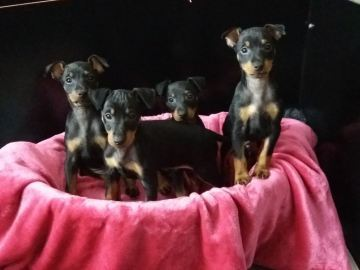 Engelsk Toy Terrier Historical Diamond's