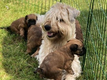 Irish Softcoated Wheaten Terrier - Kennel Rufsebarten