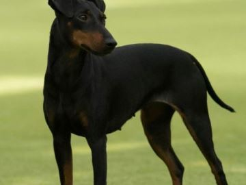 Manchester terrier- Kennel  X-Pected Dine Mite