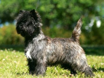 Cairn terrier Kennel Kadelly