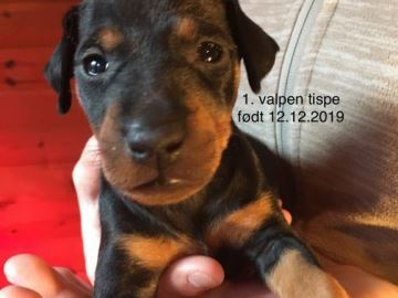 Manchester terrier -  Kennel Kristianas World Of Joy