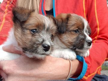 Jack Russell Terrier - Kennel Russellville