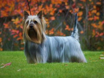 SILKY TERRIER - Kennel Silkiblue