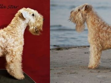 Irish softcoated wheaten terrier - Kennel Angel Pollentia