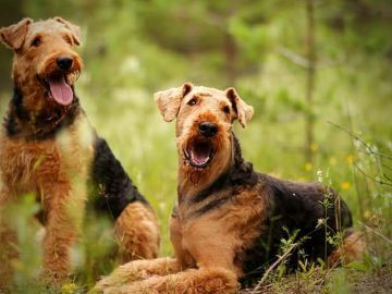 Airedale Terrier - Kennel Framarcos