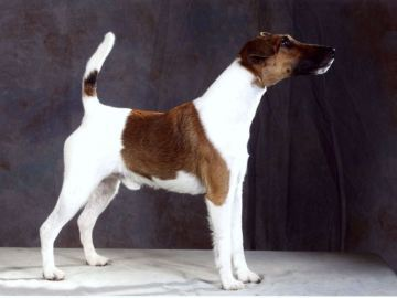 Fox terrier glatthåret