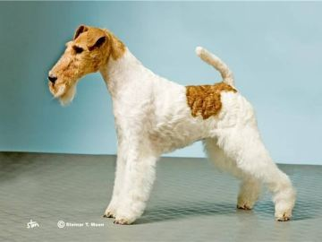 Fox terrier ruhåret