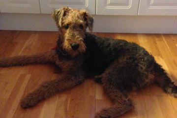 airedale-terrier-tispe