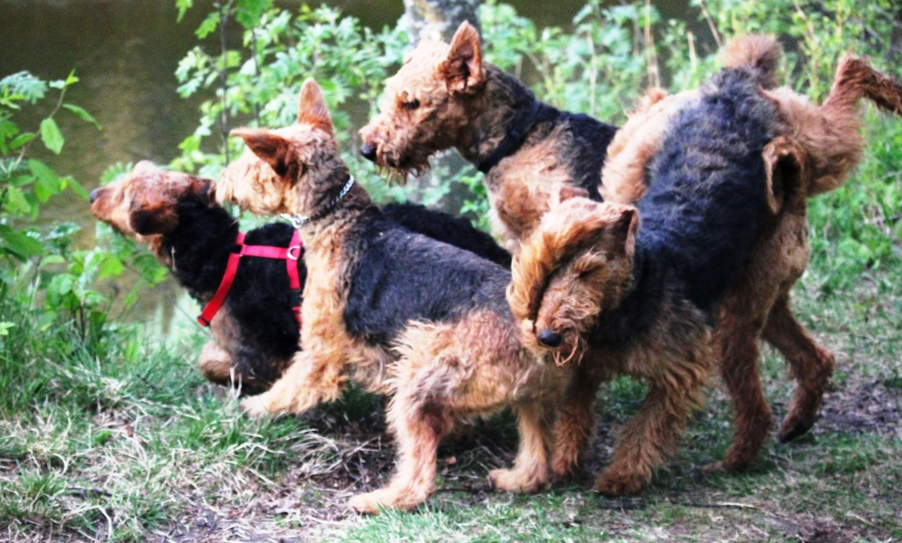 Description: http://terrierklubben.no/Userfiles/Sites/images/airedale/Drammen2014.jpg