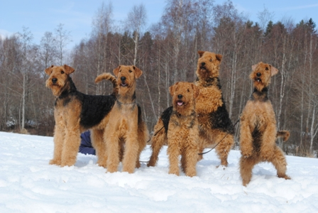 Description: http://terrierklubben.no/Userfiles/Sites/images/airedale/airedale_Winter.JPG